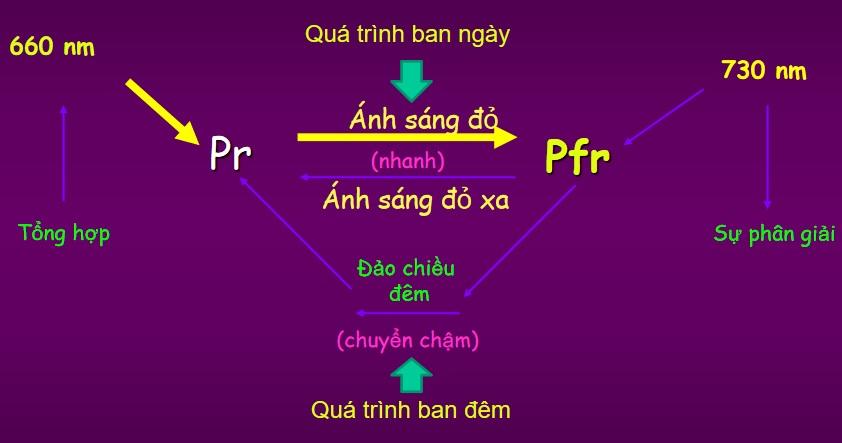 Thắp sáng đèn giúp cây tổng hợp sắc tố Phytochrome ( bao gồm Pr và Pfr)
